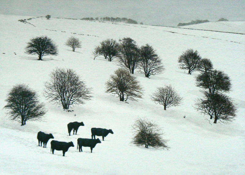 Cattle amongst hawthorns